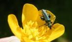 oedemera nobilis rogné